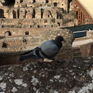 A Colosseum pigeon. Not in handmade wear.